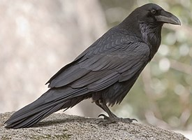 common_raven_glamor