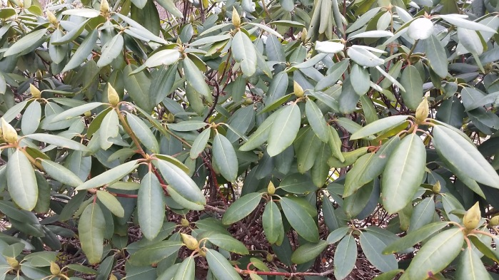 wintering rhododendron